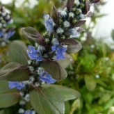 Ajuga tenorii 'Valfredda' (Chocolate Chip)