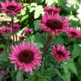 Echinacea 'After Midnight' ®