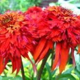 Echinacea purpurea 'Hot Papaya' ®