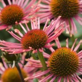 Echinacea 'Orange Spider'®