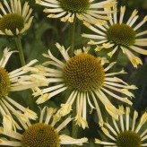 Echinacea 'Yellow Spider' ®