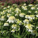 Echinacea 'White Double Delight' ®