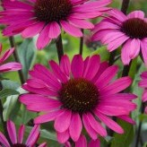 Echinacea 'Summer Cloud'®