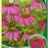 Echinacea 'Red Knee High'®