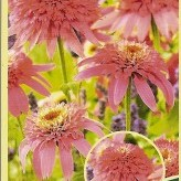 Echinacea 'Double Pink Delight'®