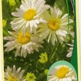 Leucanth. 'Broadway Delight'®