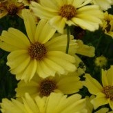 Coreopsis 'Creme Brullee' ®