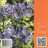 Agapanthus 'Blue Cloud'