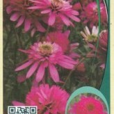 Echinacea 'Southern Belle' ® ***