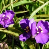 Tradescantia 'Sweet Green'