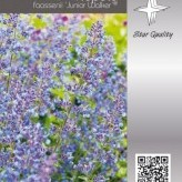 Nepeta 'Junior Walker' ®