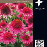 Echinacea 'Delicious Candy'® **