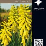 Kniphofia 'Lemon Popsicle' ®