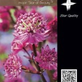 Astrantia major 'Star of Beauty' ®