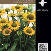 Echinacea SunSeekers 'Mellow' ® --