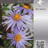 Aster ageratoides JS 'Eleven Purple' ®