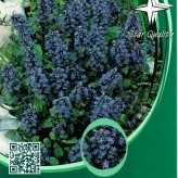 Ajuga rept. 'Blueberry Muffin' ®