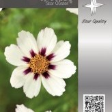 Coreopsis 'Star Cluster' ®